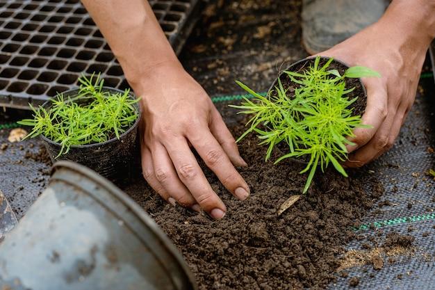 Концепция садоводства: несколько зеленых растений пересаживают в горшки большего размера, чтобы растения стали больше.