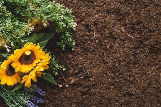 Концепция садоводства с подсолнухами и пространством справа