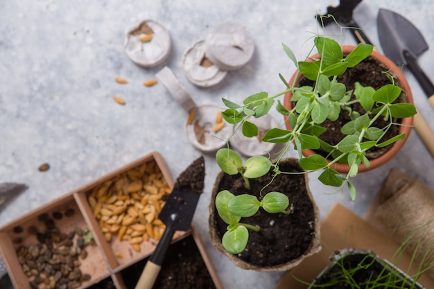 Садоводство. рассада огурца и груши в торфяном горшке с разбросанной почвой и садовым инструментом. набор для выращивания на бетонной поверхности.