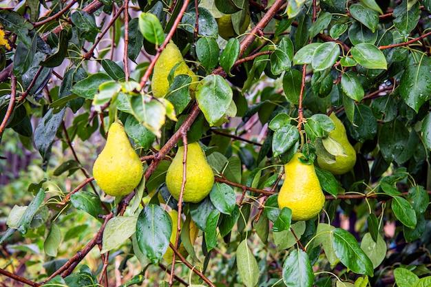Gardening. fresh pear on apple trees in apple fruit tree in orchard