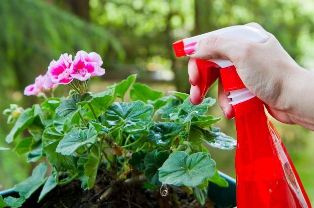 Gardening a geranium flower