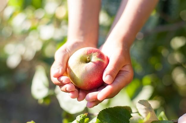원예. 정원에서 자라는 사과. 사과 과수원. 화창한 날 클로즈업에 정원에 있는 녹색 사과 잎과 푸른 하늘을 배경으로 한 여성의 손에 있는 익은 분홍색 사과.