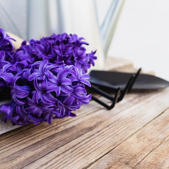 Gardening hobby concept. blue purple hyacinth flower blossom, small garden pitchfork or rake and shovel on old wooden table background