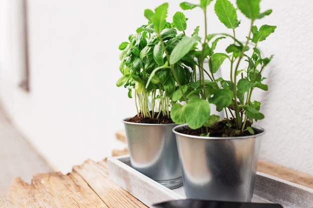 Gardening hobby, healthy vegan eating concept with green mint and basil herbs in metal pot on concrete tray near house with blurred background