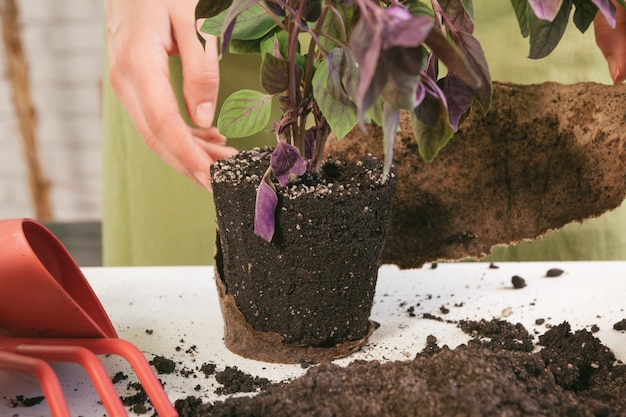 Gardening at home. woman's hands with sprout table