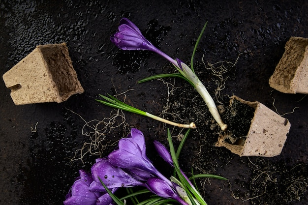Gardening. peat pots, crocus flower and  young seedlings. spring