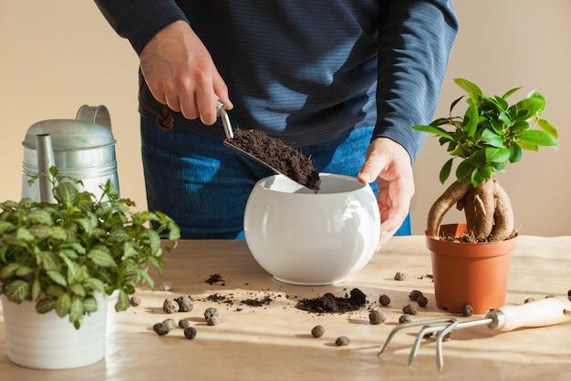 ガーデニング、家での植栽。イチジクの観葉植物を再配置する男