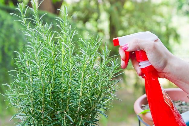 Gardening rosemary plant