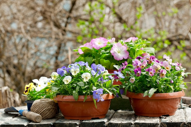 Gardening tools and colorful pansy flowers in a spring garden