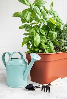 Gardening tools, watering can and herbs plants, rosemary, basil  on the table