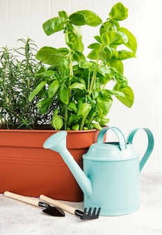 Gardening tools, watering can and herbs plants