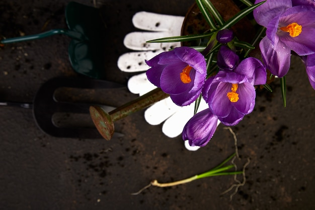 Gardening tools, young seedlings, crocus flower. spring