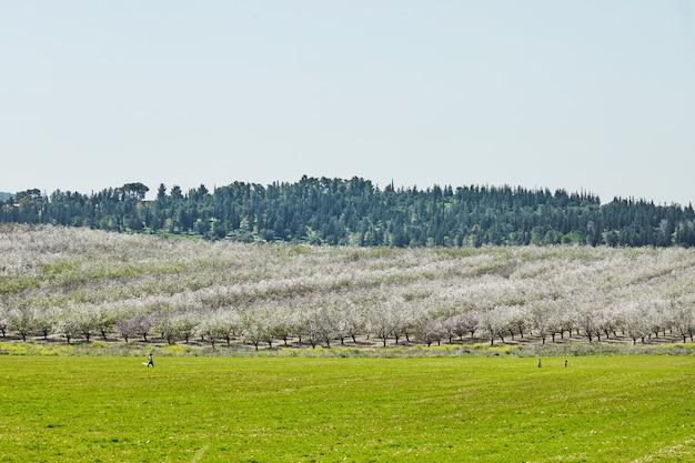 春先にアーモンドの木が開花する庭園