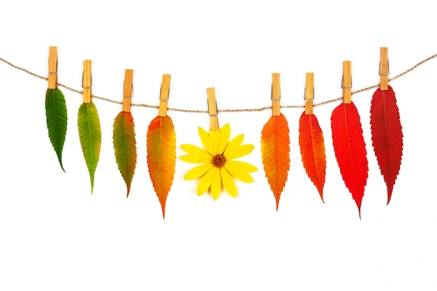 Garland of colorful autumn leaves and yellow flower on a rope with wooden clothespins isolated on white