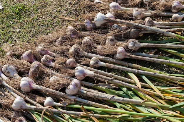 畑の領土に積み上げられたニンニク作物は、植物の土を乾かすために、農業で収穫されたニンニク作物