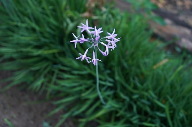 庭のニンニクの花