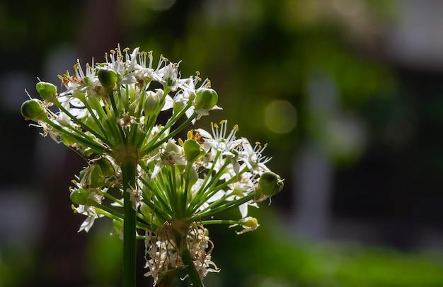 Garlic flower, the welsh onion (allium fistulosum), also commonly called bunching onion in shallow focus