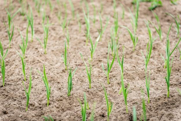 春の庭で育つニンニク。