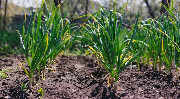 にんにくを庭のベッドに一列に植えました。緑のニンニクの葉。田舎の香り高いにんにく。