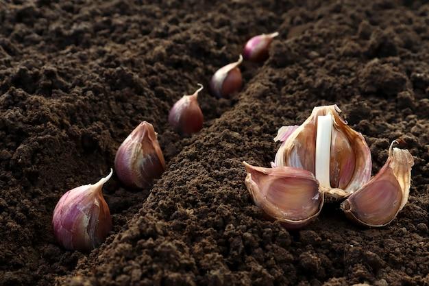 穴の土のクローズアップにニンニクを植えました。庭にニンニクを植えるプロセス。春または秋のガーデニングの概念。