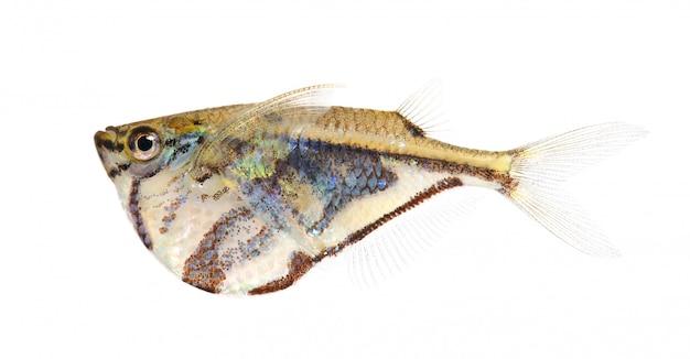 一般的な手斧-分離された白のgasteropelecus sternicla