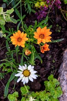 夏の日の庭にガタニアの花が咲きます。