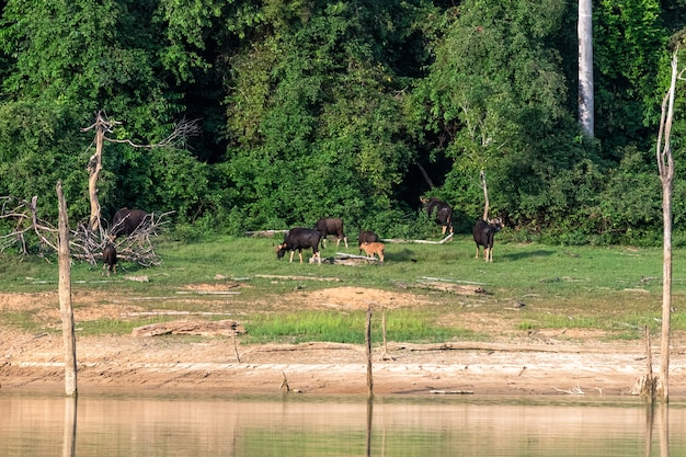 Gaur family is eating grass in the forest by the lake