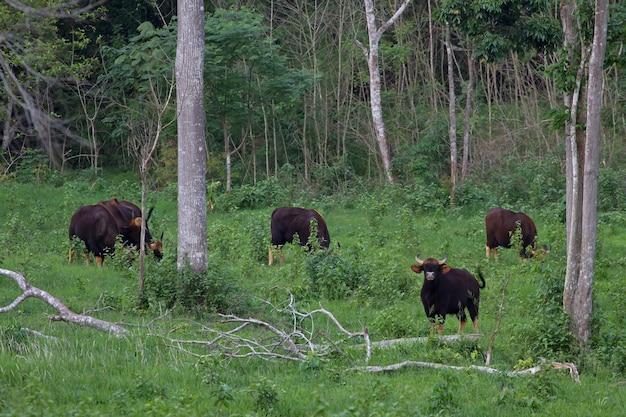 Gaur in the nature habitat in thailand