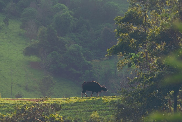 Gaur in the tropical forest, wildlife in thailand