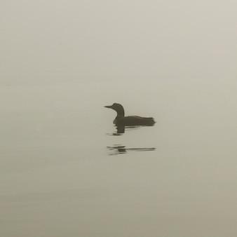 カナダのオンタリオ州、レイク・オブ・ザ・ウッズの湖で泳ぐコモン・ルーン(gavia immer)
