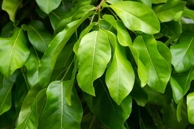 오타하이트 밤, 폴리네시아 밤 또는 타히티 밤으로 알려진 gayam(inocarpus fagiferus) 잎