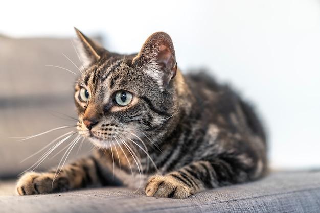 가정에서 아름다운 소파에 파란 눈을 가진 회색과 흰색 고양이의 시선. 남자의 가장 친한 친구, 최고의 동물, 소중한 고양이