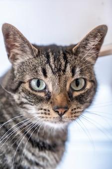 가정에서 소중한 것 위에 파란 눈을 가진 회색과 흰색 고양이의 시선. 남자의 가장 친한 친구, 최고의 동물, 소중한 고양이.
