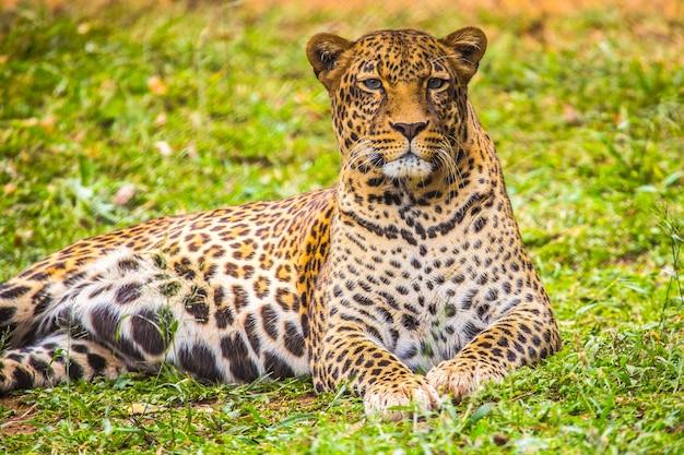 孤児院の芝生で素敵なヒョウを見つめます。無防備または負傷した動物の重要なナイロビ孤児院を訪問。ケニア