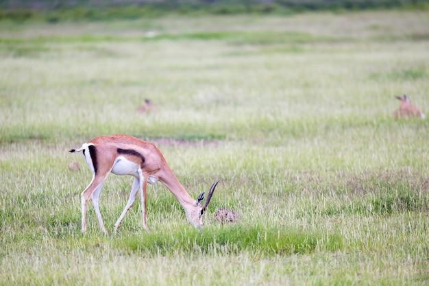 Gazelle grazes in the grassland of the savannah