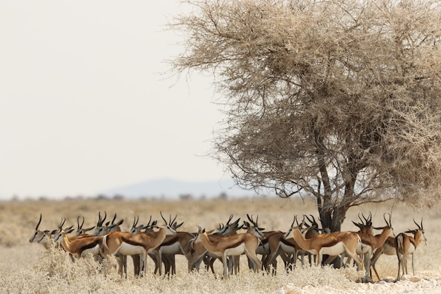 Gazelle herd resting under a dried tree in a savanna landscape