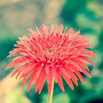 ゲベラ花のクローズアップ
