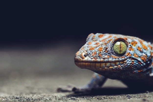 Gecko is a reptile