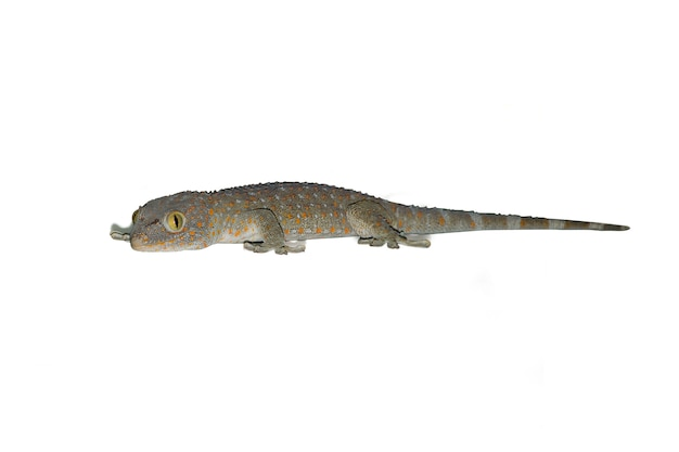 Gecko isolated on the white background