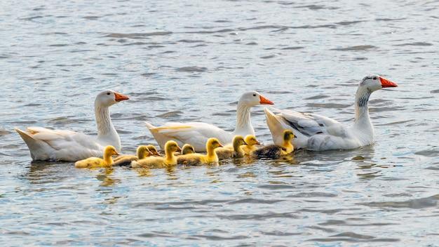 거위와 작은 노란색 고슬링이 강에 떠 있습니다.
