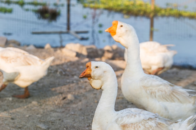 Geese, animals