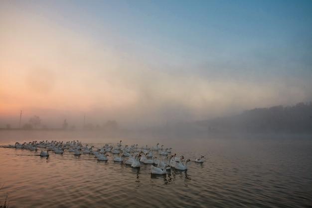 ガチョウは霧に覆われた池から飛び去っています。
