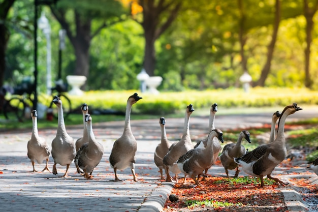 Geese are living in the park