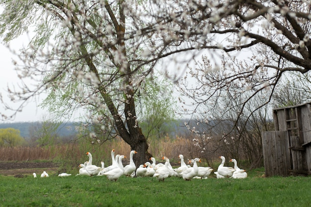 Geese are walking in the spring in the village on the lawn with fresh green grass on the  of a flowering tree