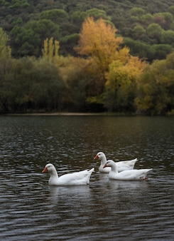 Geese in autumn