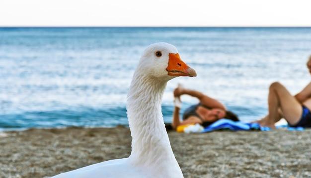 Geese on the beach