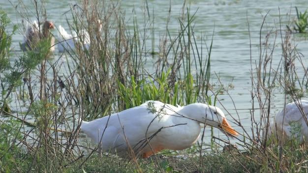 Гуси пьют воду из озера с поднятой головой и едят с земли.