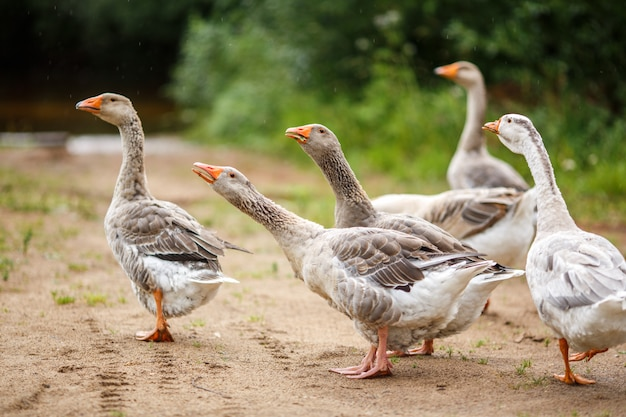 Geese on the field