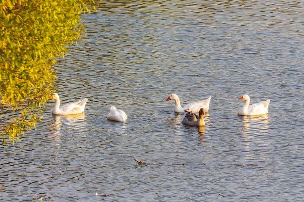 Гуси плывут по реке у берега осенью