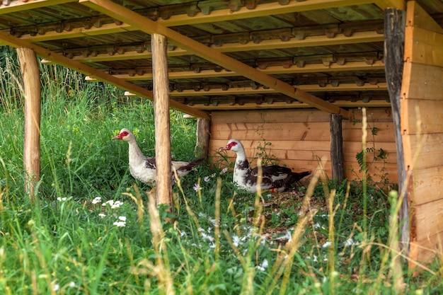 Гуси в питомнике на ферме.